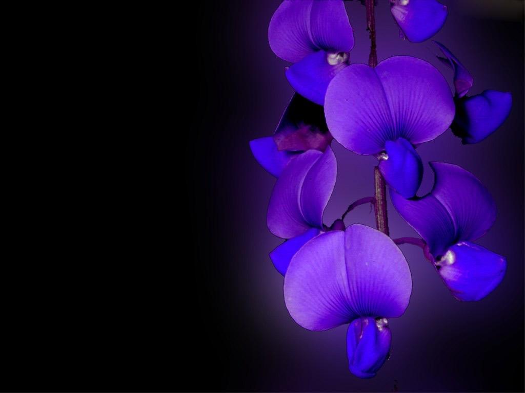 Orquideas Azules Fantasia