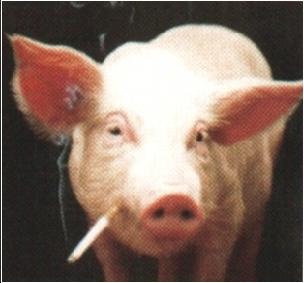 el cochino fuma como un cerdo