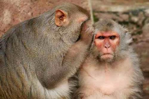 monos chismosos
