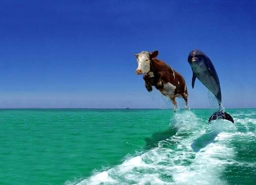 ¿Cuándo has visto una vaca nadar?